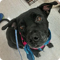 Adopt A Pet :: Angel - Sterling Heights, MI