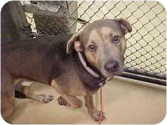 Shepherd (Unknown Type) Mix Dog for adoption in Emory, Texas - Coby