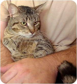 Domestic Shorthair Cat for adoption in Troy, Michigan - Emma
