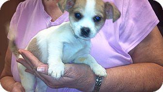 Chihuahua Mix Puppy for adoption in Hazard, Kentucky - Schremp