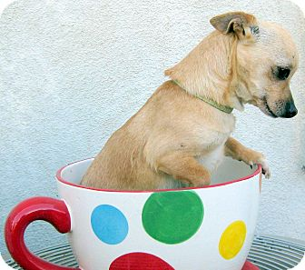 Chihuahua/Dachshund Mix Dog for adoption in Oakley, California - Tiny Cleo