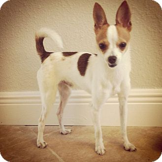 Chihuahua Mix Dog for adoption in Spring Branch, Texas - Elliot