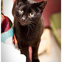 Domestic Shorthair Cat for adoption in Middletown, New York - Blake