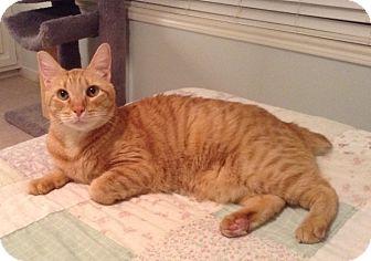 Manx Cat for adoption in Houston, Texas - Sam
