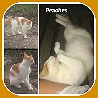 Adopt A Pet :: PEACHES - Malvern, AR