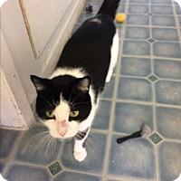 Domestic Shorthair Cat for adoption in Elliot Lake, Ontario - Panda
