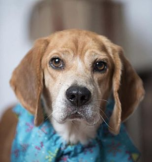 Beagle Dog for adoption in Kenner, Louisiana - Leif