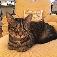 Domestic Shorthair Kitten for adoption in Blairstown, New Jersey - CP - NC - Teeny