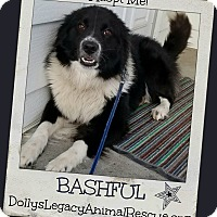 Adopt A Pet :: BASHFUL - Lincoln, NE