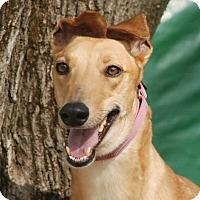 Adopt A Pet :: Like/Toska - Ware, MA