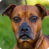 French Bulldog/Dachshund Mix Dog for adoption in San Diego, California - Luciano