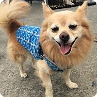 Adopt A Pet :: Simba - San Jose, CA