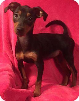 Miniature Pinscher Puppy for adoption in Waldron, Arkansas - STELLA BARKLEY