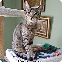 Adopt A Pet :: Cedar Gray - Bentonville, AR