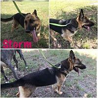 Adopt A Pet :: Storm - Fort Worth, TX