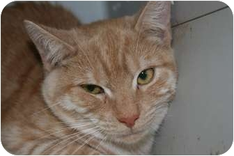 Domestic Shorthair Cat for adoption in Frederick, Maryland - Annabelle