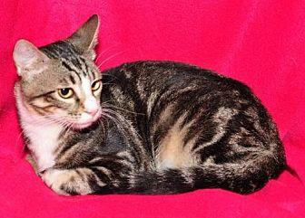 Domestic Shorthair Cat for adoption in Garland, Texas - Buddy