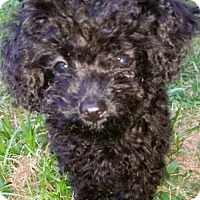 Adopt A Pet :: betsy - Fairview Heights, IL