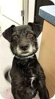 Terrier (Unknown Type, Small)/Pug Mix Dog for adoption in Scottsdale, Arizona - Grover