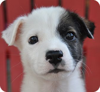Jack Russell Terrier/Terrier (Unknown Type, Small) Mix Puppy for adoption in Harrisonburg, Virginia - Sailor