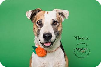 Border Collie/Shepherd (Unknown Type) Mix Dog for adoption in Visalia, California - Phoenix