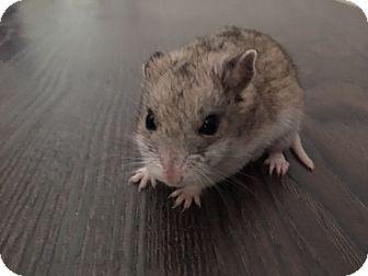 Hamster for adoption in Williston, Florida - Teenie