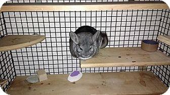 Chinchilla for adoption in Avondale, Louisiana - Bella