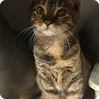 Adopt A Pet :: Tortelleni - Bayside, NY