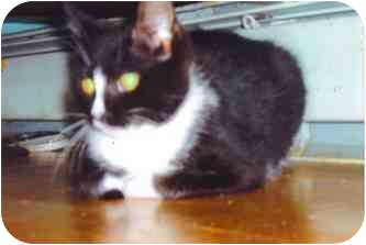 Domestic Shorthair Kitten for adoption in Bristol, Rhode Island - Oreo