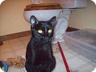 Domestic Shorthair Cat for adoption in Walnut, Iowa - Minuit