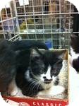 Domestic Shorthair Kitten for adoption in Pittstown, New Jersey - Pearl