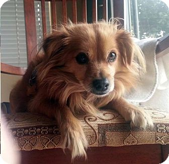 Pomeranian/Chihuahua Mix Dog for adoption in Los Angeles, California - RIGGS