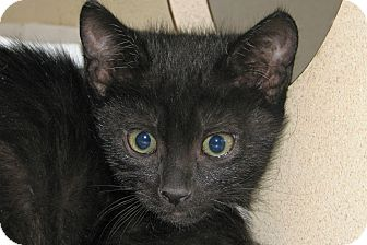 Domestic Shorthair Kitten for adoption in Ruidoso, New Mexico - Aphra