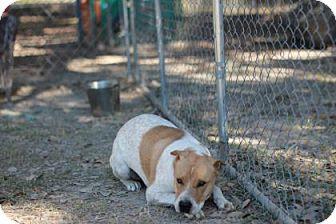 Australian Cattle Dog Mix Dog for adoption in Covington, Louisiana - Roux