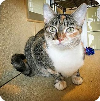 Domestic Shorthair Cat for adoption in Fredericksburg, Texas - Stacy