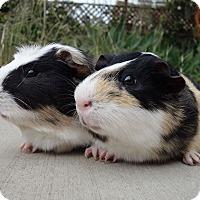 Adopt A Pet :: Ren & Stimpy - Fullerton, CA