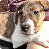 Adopt A Pet :: Ashley - Valley Stream, NY