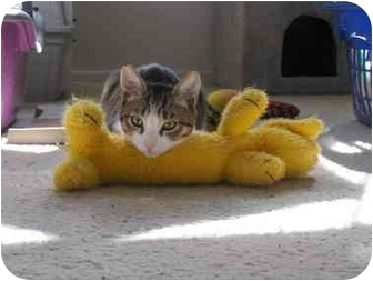 American Shorthair Kitten for adoption in Los Angeles, California - Lola