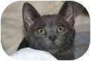 Domestic Shorthair Kitten for adoption in Delmont, Pennsylvania - Rufus