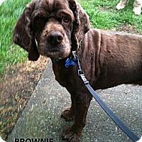 Adopt A Pet :: BROWNIE - Tacoma, WA