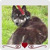 Adopt A Pet :: Lady of Siberia - Murphy, NC