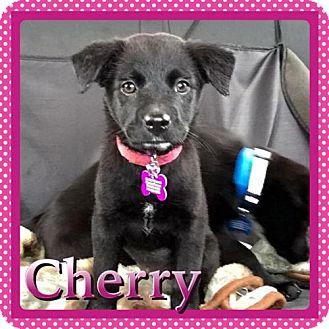 Labrador Retriever Mix Puppy for adoption in Kenmore, New York - Cherry