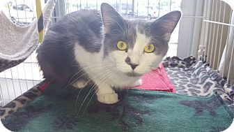 Domestic Mediumhair Cat for adoption in SHELBY TWP, Michigan - Ghost