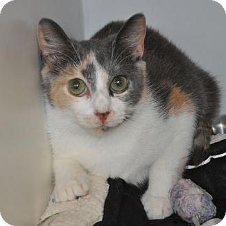 Domestic Shorthair Cat for adoption in Suwanee, Georgia - Lane