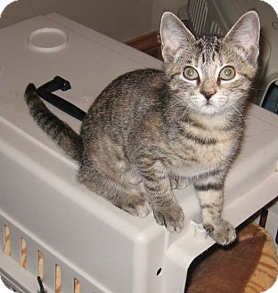 Domestic Shorthair Kitten for adoption in Lewis Center, Ohio - Muffin