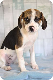 Beagle Mix Puppy for adoption in Waldorf, Maryland - Stoney