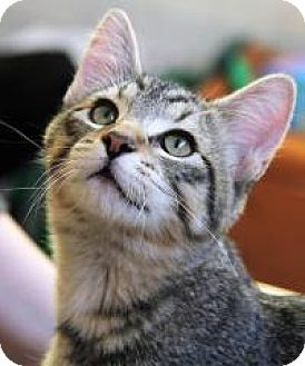 Domestic Shorthair Cat for adoption in Roseville, Minnesota - Oliver