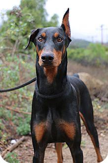 Doberman Pinscher Dog for adoption in Fillmore, California - Cairo