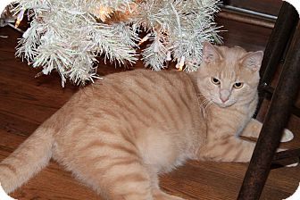 Domestic Shorthair Cat for adoption in Naperville, Illinois - Chester