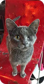 Domestic Shorthair Cat for adoption in Hudson, New York - Hope